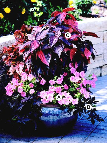 This combination is elevated to high drama with the inclusion of acalypha, a garden-worthy (but underused) foliage plant. Look for plants such as coleus or elephant's ears to make your plantings spectacular. A. Petunia 'Ultra Pastel Pink': 5 B. Sweet potato vine (Ipomoea batatus 'Blackie'): 2 C. Acalypha wilkesiana: 1