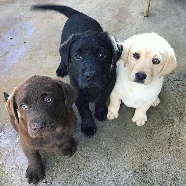 Black Lab Labrador Retriever Dog Labrador Retriever Puppies