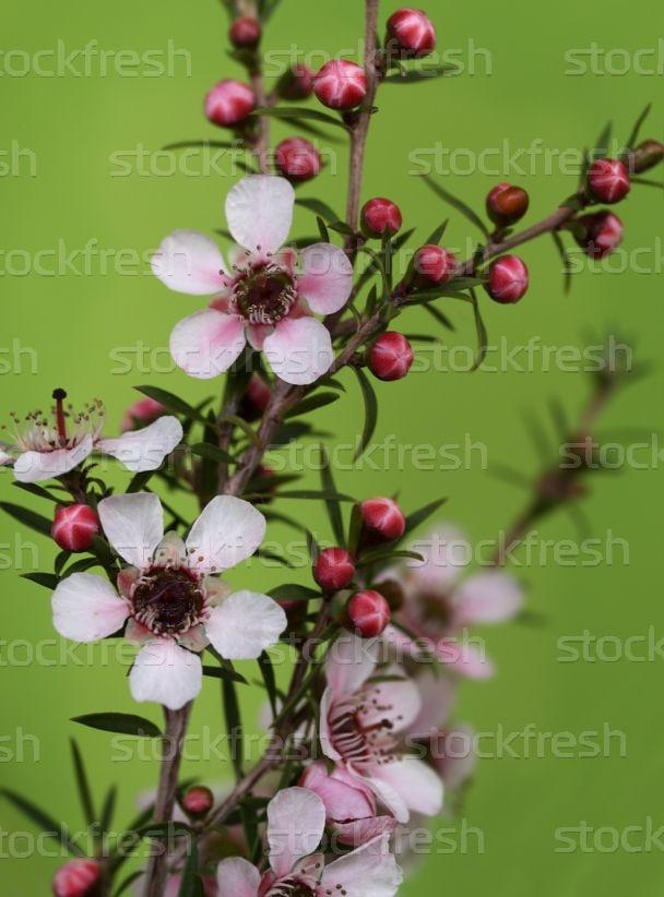 Leptospernum Color Rosa