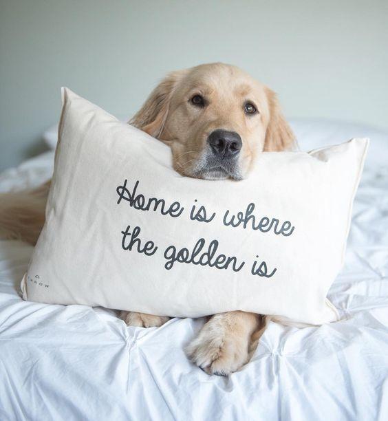 Golden retriever met een Golden kussen. Beste Golden Retriever Foto's. #Goldenretriever #Golden #Retriever.