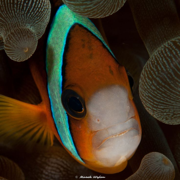 Tomato Anemonefish | Bali-Komodo | 2008.09.15  Title: Tomato Anemonefish Location: Bali-Komodo Camera: NIKON D300 Lens: AF-S VR Micro-Nikkor 105mm f/2.8G IF-ED Settings: 1/80 f/14 ISO200 Housing: Subal ND300 Strobes: 2 x Subtronic Pro270  http://marek.wylon.com