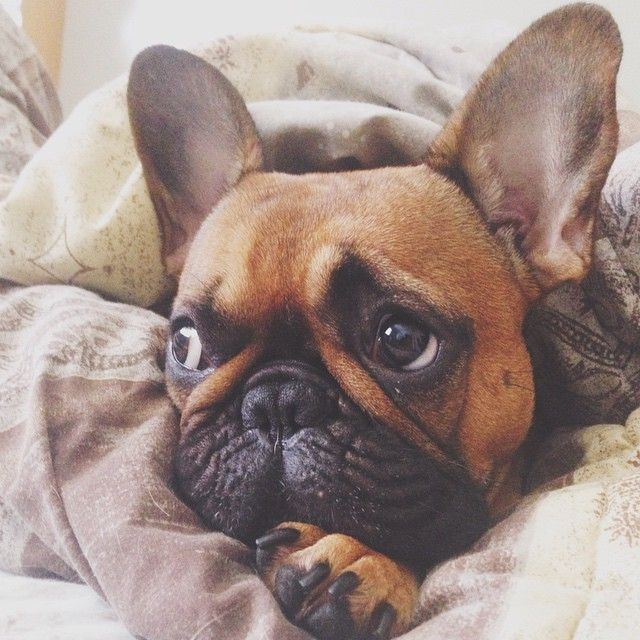 Porky is really sad about all this rain. Summer is officially over.  French Bulldog Puppy