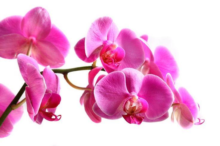 Fotobehang: Roze Orchideeën Liggend