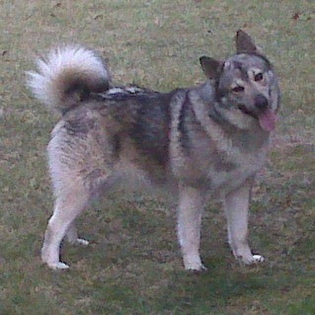 Norwegian elkhound/wolf hybrid? | The Retriever, Dog, & Wildlife Blog