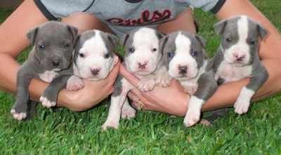 Yes, these are cute but 6,000 homeless pit bulls die in shelters every day. Let's stop having puppies and start adopting those that are homeless!
