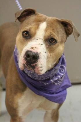 ADOPTED>NAME: Grogan  ANIMAL ID: 34726166  BREED: Pit  SEX: male  EST. AGE: 2 yr  Est Weight: 57 lbs  Health: Heartworm neg  Temperament: dog friendly, people friendly  ADDITIONAL INFO: RESCUE PULL FEE: $35  Intake date: 2/24  Available: Now