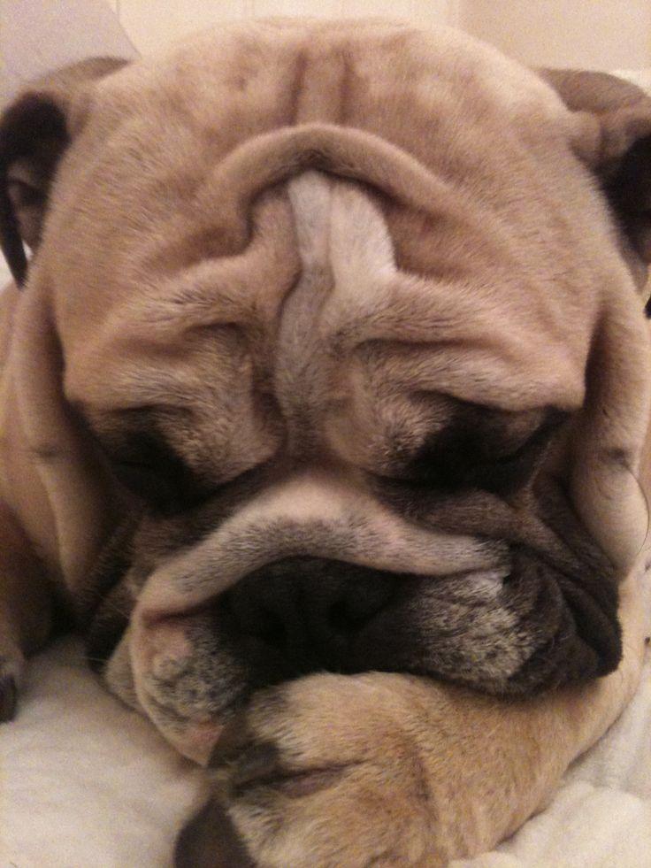 bulldog close up