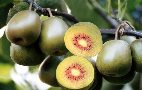 Kiwi, like an egg as big as some sharp, wearing a furry of cotton-padded jacket, Actinidia receptacle on one end called the other side called pedicle. The meat of it is green, black seed, is the beige of the heart, skin is brown. #fruit #luofu #travel #food #China