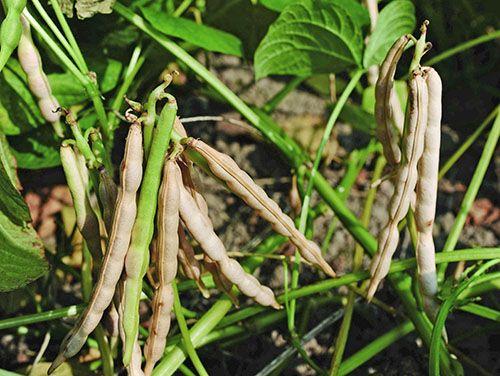 Фасоль адзуки в основнов выращивают в азиатском регионе