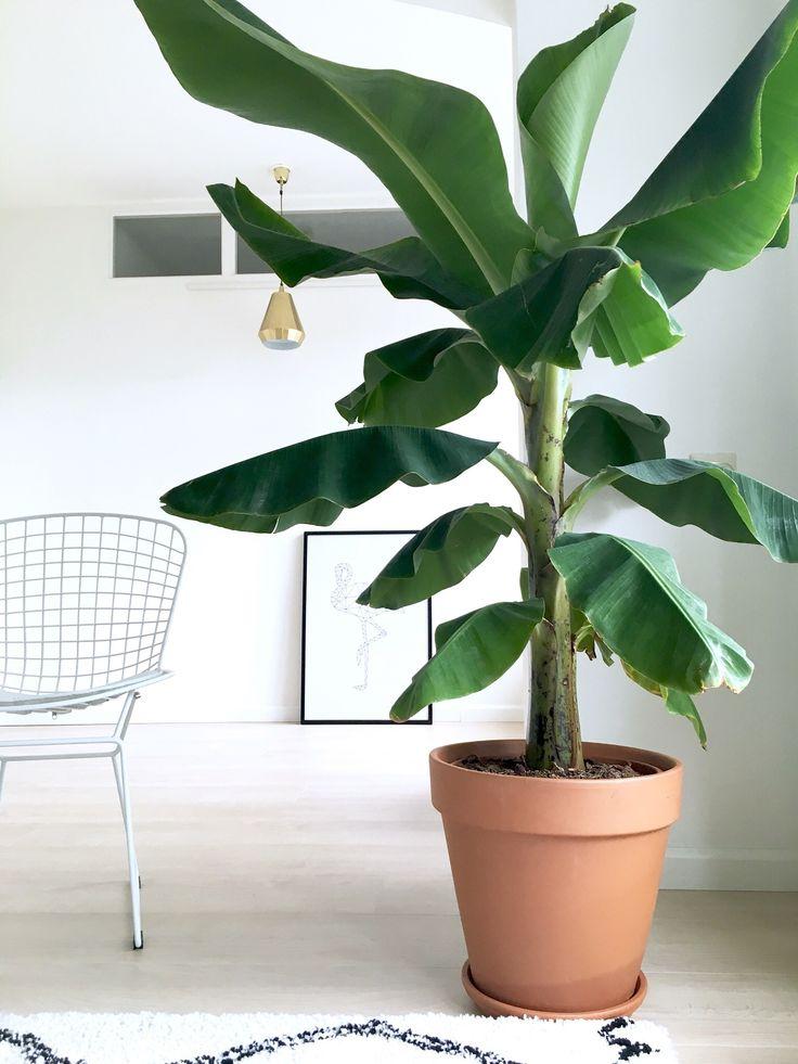 Mijn bananenplant die zo langzamerhand uitgroeit tot een jungle:), jeetje wat wordt hij groot!
