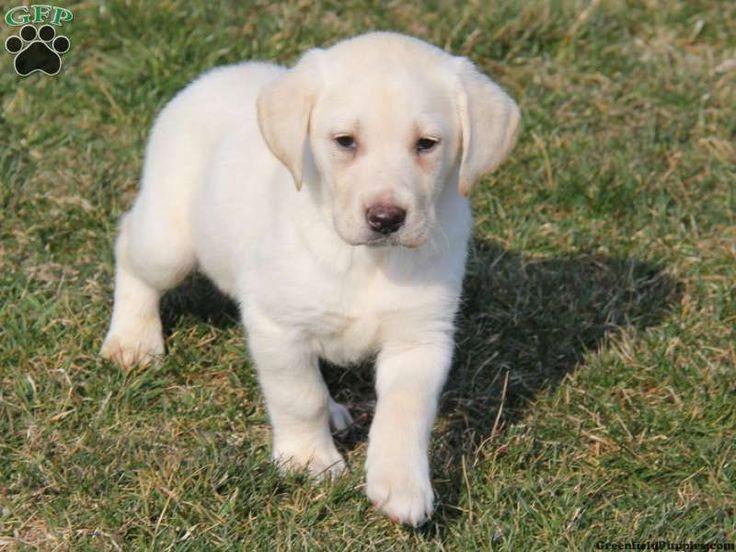 Labrador Retriever-Yellow Puppy