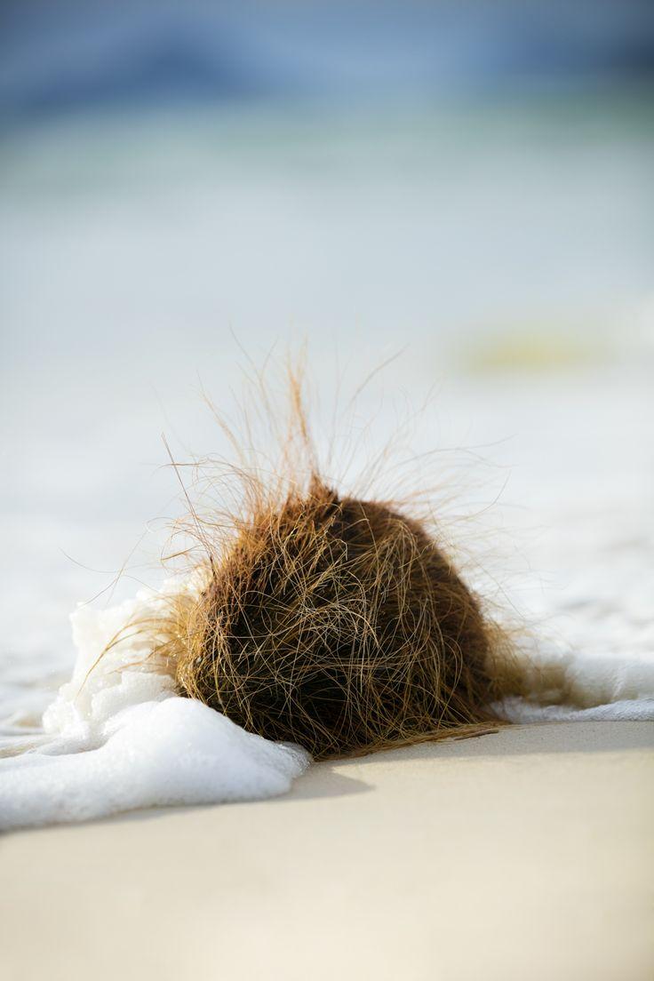 coconut in the beach, seychelles island
