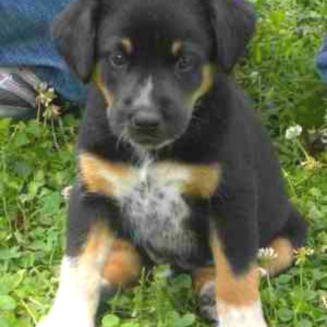Merle Dachshund Puppies