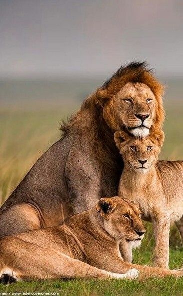 "Lion Family……..MOMMA LIONS THOUGHTS: ""I HOPE LITTLE ""LEO"" SITS STILL LONG ENOUGH FOR THIS FAMILY PORTRAIT………..GUESS WHAT (??) HE ACTED SO WELL BEHAVED…..THIS IS THE 2016 RESULT…….WHO KNOWS ABOUT NEXT YEAR(??)………….ccp"