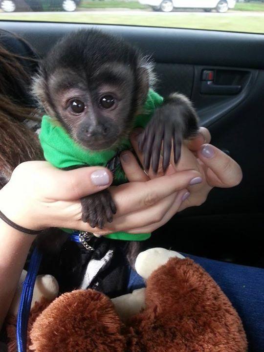 Great Beautiful Capuchin monkey for adoption