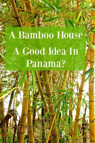The bamboo that I have encountered in Puerto Armuelles, and generally in Panama, appears to be some strain of fast growing golden bamboo.