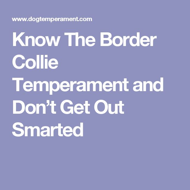 Know The Border Collie Temperament and Don't Get Out Smarted