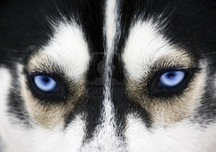 blue eyes of a dog