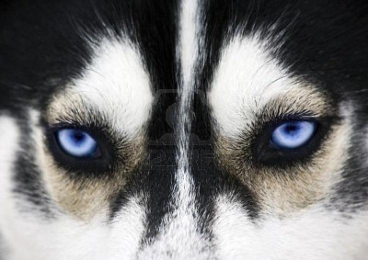 blue eyes of a dog