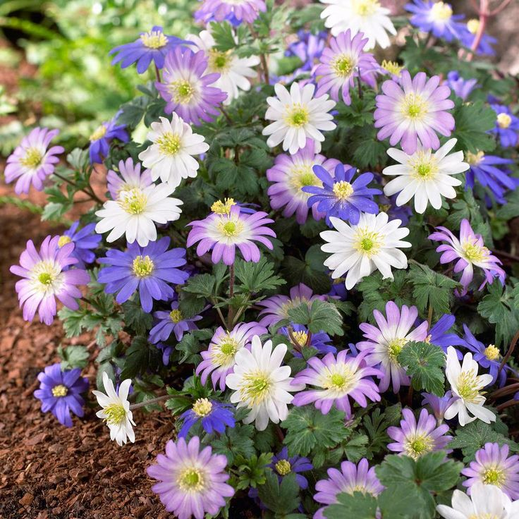 Longfield Gardens Anemone Blanda Assorted Bulbs 25 Pack 10000211 The Home Depot With Images Bulb Flowers Shade Flowers Perennial