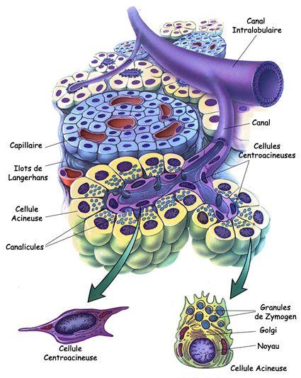Pancréatite aiguë et chronique : Les fonctions du pancréas