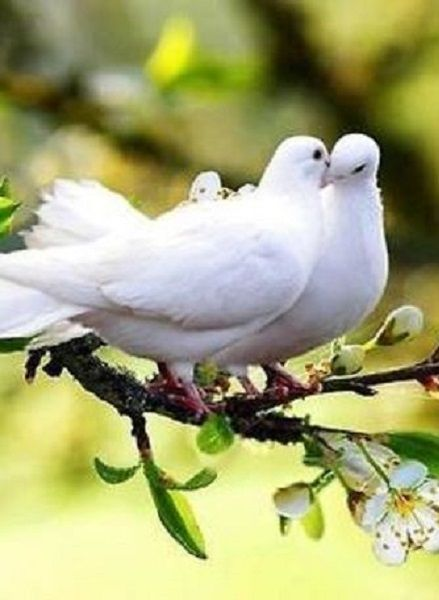 Lovely white dove couple first comes love o how sweet it for 2 little birds sat on my window