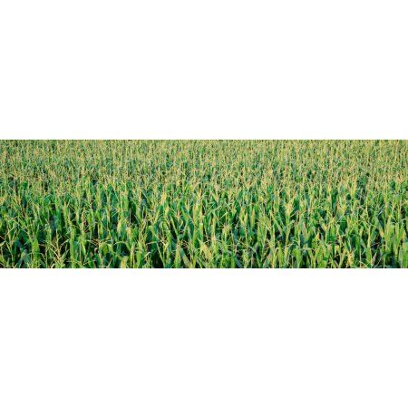 Corn crop in a field Iowa USA Canvas Art - Panoramic Images (36 x 12)