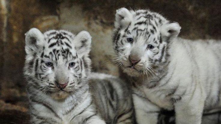 Internettet smelter over nuttede hvide tigerunger
