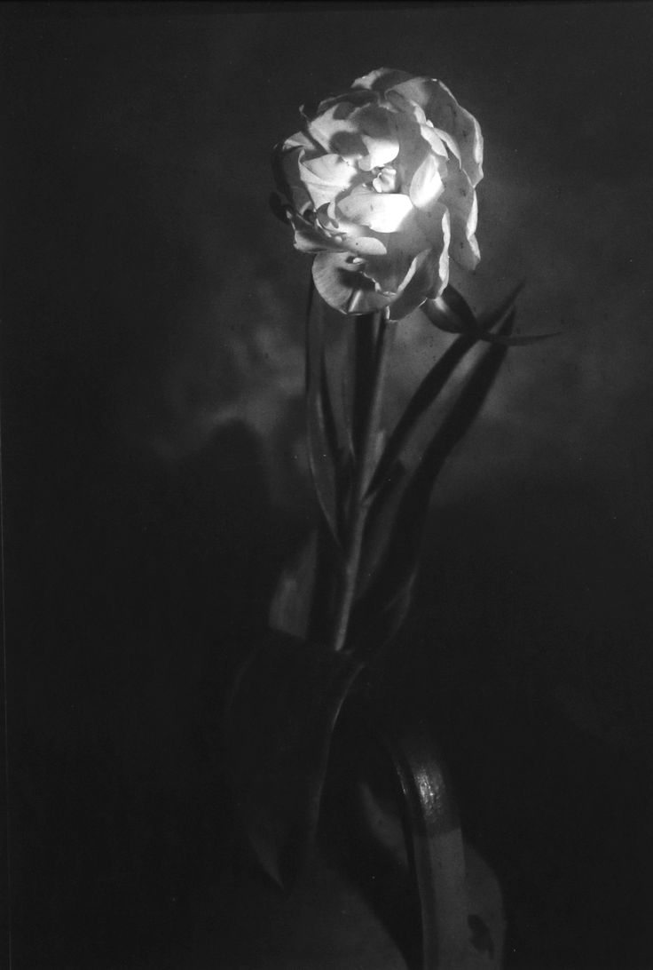 For sale on Livin'art n. 1 of 10 TULIPANO DOPPIO - DUOBLE TULIP  Photo made with Optical Bench  cm 14x9,5 mounted on professional passepartout cm 50x35  Printing Techniques: contact plate on barium paper ILFORD – Edition 10