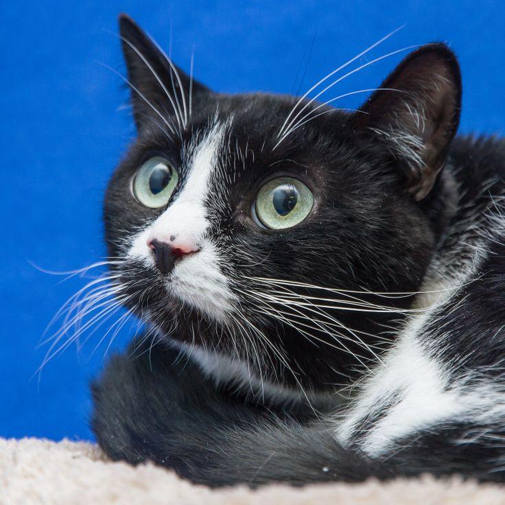 Domino Found Her Foreverhome On 2 27 14 Livessaved Opt2adopt Adoptdontshop Kittylove Humane Society Animals Kitty