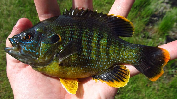Green sunfish awesomely aquatic pinterest green for Sunfish in a backyard pond