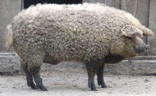 Undercover Porko | The Mangalitsa Pig http://ift.tt/2saiPYT