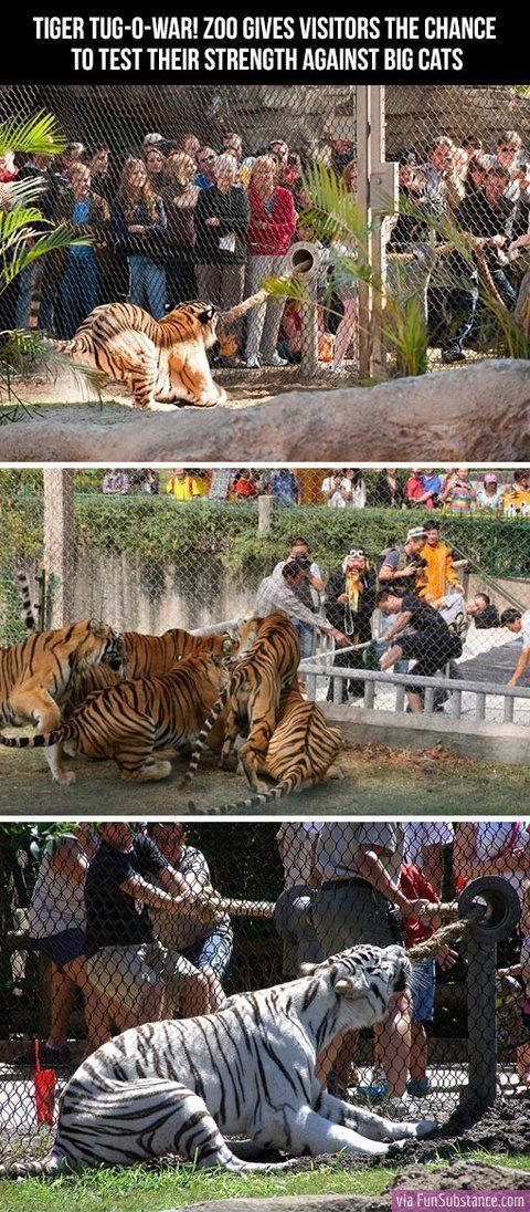 Tiger tug-o-war - FunSubstance.com