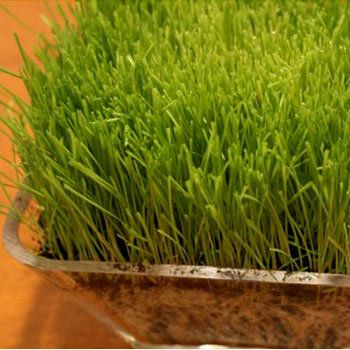 20 Best Benefits Of Wheatgrass Powder For Skin, Hair And Health