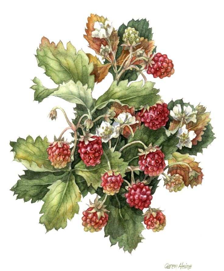 Wild Alberta Strawberries, by Caren Heine