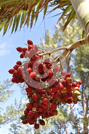 Coffee red beans in the tree, Mauritius.