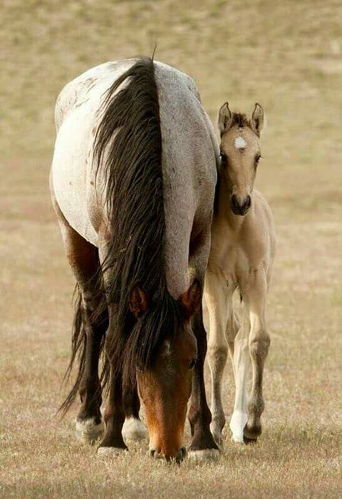 Gorgeous bay roan mare with her foal (he looks buckskin, but hard to tell)