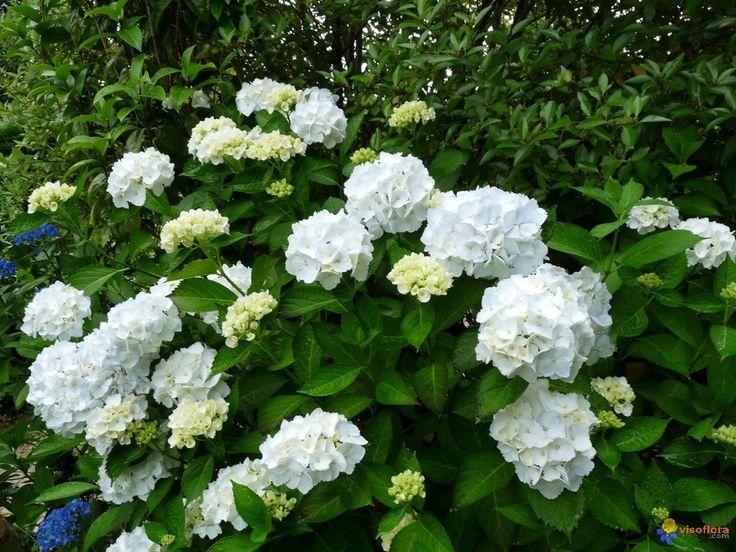 hortensia blanc ext rieur plantes blanches pinterest photos photos de nature et nature. Black Bedroom Furniture Sets. Home Design Ideas