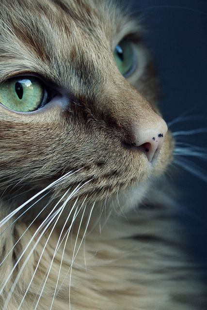 cat portrait......looks like our Bellini!