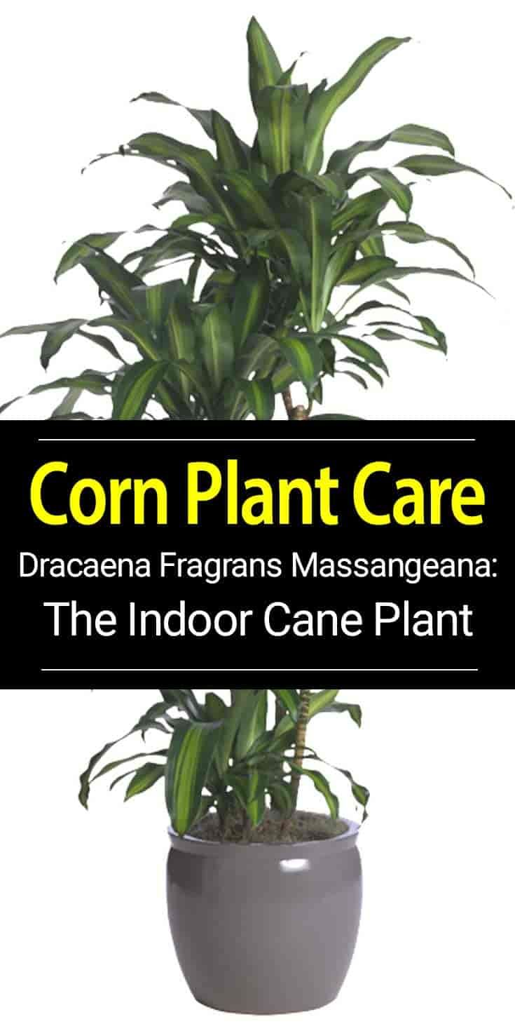 Dracaena Massangeana Corn Plant Plants Plant Care Houseplant