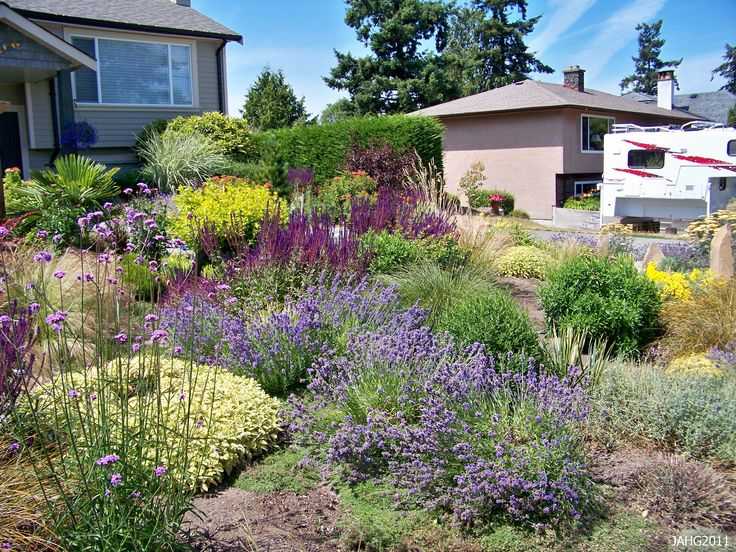 A contemporary west coast drought tolerant garden with Hidcote Lavender (English) as one of the feature plants.