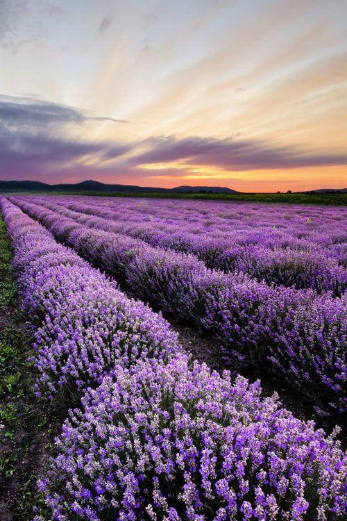 Lavender, Bulgaria***by Milen Dobrev