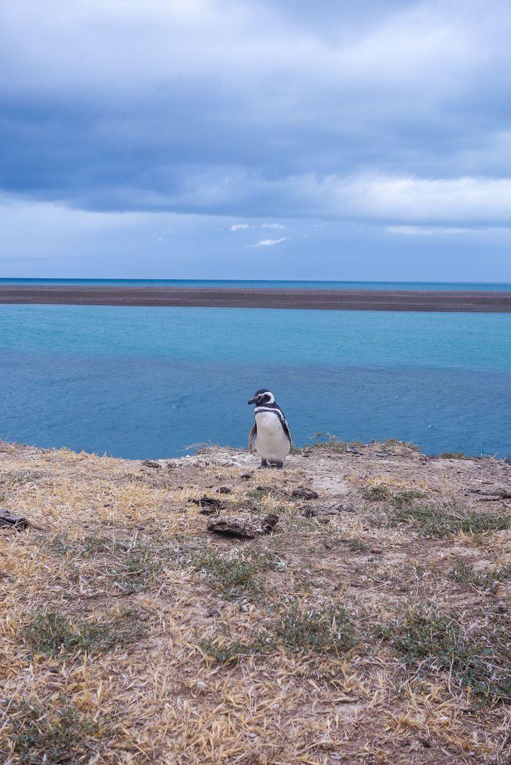 Manchot sur la Péninsule de Valdès en Argentine - Partons à la découverte de la côte argentine