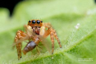 Jumping spider (Salticidae) - DSC_9580   by nickybay