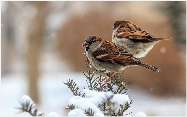 Sparrows Winter Birds Wallpaper | sparrows winter birds wallpaper 1080p, sparrows winter birds wallpaper desktop, sparrows winter birds wallpaper hd, sparrows winter birds wallpaper iphone