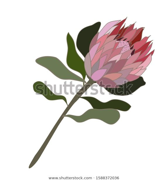 Find Protea Flower Isolated Vector Illustration Pink Stock Images In Hd And Millions Of Other Royalty Free Sto Protea Flower Vector Illustration Vector Flowers