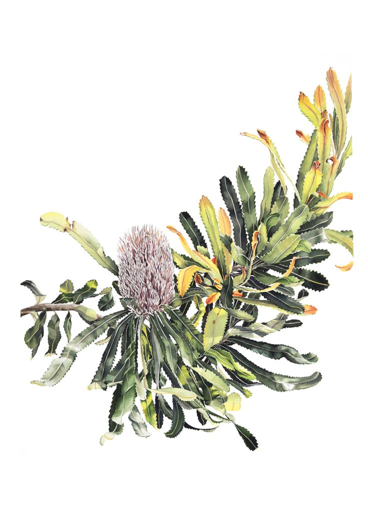 'Banksia Baueri - Woolly Banksia' by Pip Spiro. Watercolour on Arches paper, 730x900mm. Exhibiting at Botanica at the Roual Botanic Gardens of Sydney. #banksia #watercolour #native