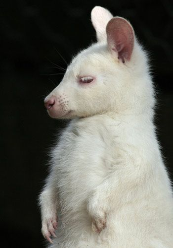 Oh, Mr. Woo, I'll take care of you! This albino wallaby... Catch More Creatures Here: http://www.thefeaturedcreature.com/2012/03/six-insanely-cute-baby-animals-that.html#ixzz202zQ8kjt