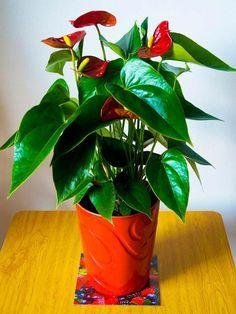 plantas-de-interior-anthurium: De acuerdo con el Journal of Environmental Psychology, las plantas con flores (como el Anthurium) ayudan a disminuir los niveles de estrés. Seguro que es algo que casi todas las habitaciones de su casa podrían necesitar, ¿no?