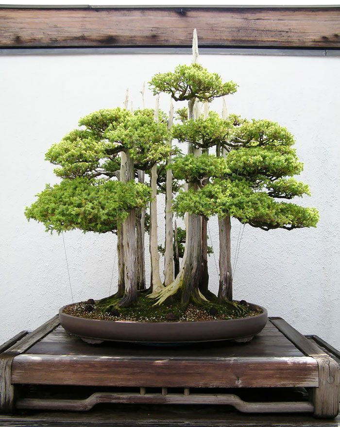 Bonsai trees are awesome. Just ask Mr Miyagi. They look beautiful, they fit in your house, they encourage patience and dedication, they relieve stress, and they help to purify the air. What's not to like?